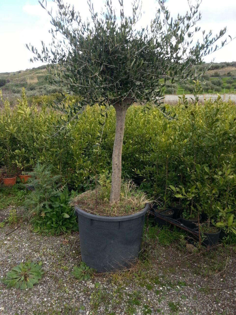 Olivi vendita piante online spedizioni dalla sicilia for Vendita piante olivi